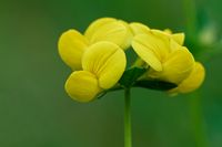 bird's-foot trefoil on a meadow