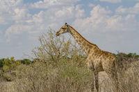 Giraffen - Giraffa Camelopardis