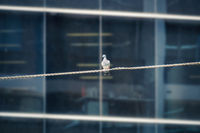 Lone pigeon on a tightrope in front of building