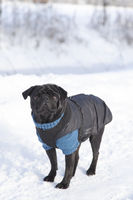 Black pug with sweater and coat in winter
