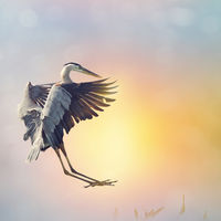 Great Blue Heron landing in Florida wetlands