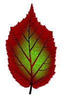 Image of red and green autumn tree leaf