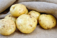 Potatoes yellow with burlap