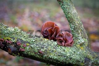 Judasohr (Auricularia auricula-judae) an einem toten Baumstamm