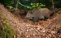 European boar