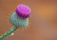 Isolate Purple Thistle
