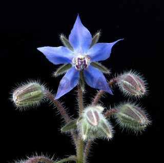 Borretsch, Borago officinalis