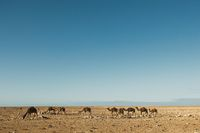 Camels are grazing on the Atlantic Ocean coast