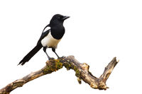 Eurasian magpie sitting on branch isolated on white background.
