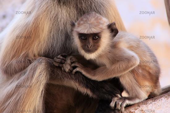 Baby Gray langur sitting with mother, Pushkar, Raj
