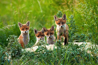 Beautiful portrait of four red fox cubs posing out of their hole in summer.