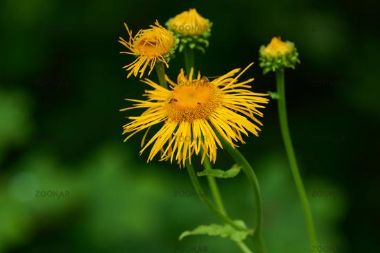 Blossom from Telekia speciosa