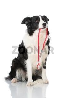 Border Collie mit Stethoskop