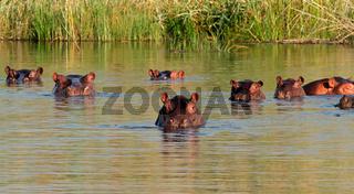 Group of hippopotamus (Hippopotamus amphibius) in water