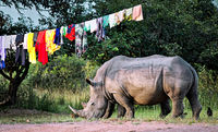 Wildlife Rhinos meeting the civilization, Uganda