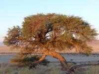 Umrella Thorn at sundown