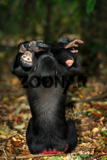 sulawesi monkey with baby Celebes crested macaque