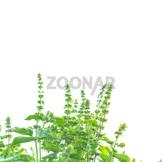 Upward view of blossom sweet basil flowers isolated on white background