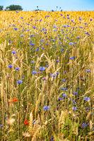 Field margins with blooming poppies and cornflowers in Mecklenburg-Western Pomerania, Germany