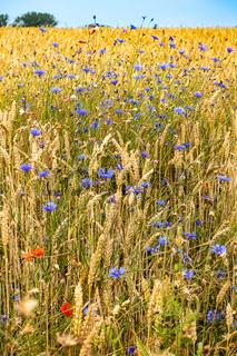 Ackerrandstreifen mit bluehenden Mohn- und Kornblumen in Mecklenburg-Vorpommern, Deutschland