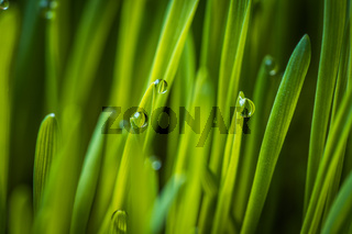 Fresh green wheat grass with drops dew macro background photo
