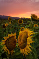 Sunflower Field at Sunset, Northern California, USA
