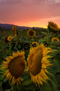 Sunflower Field at Sunset, Northern California, USA