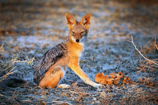 black-backed jackal, Etosha National Park, Namibia, (Canis mesomelas)