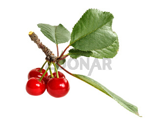 A bunch of ripe cherries