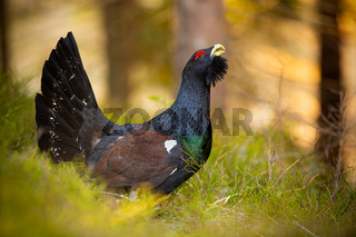 Territorial western capercaillie male courting ground in spring at sunrise.