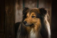 Sheltie dog standing in a garden arbor