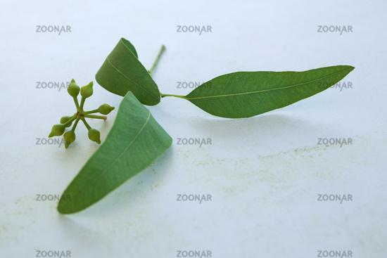 Green Eucalyptus twig.