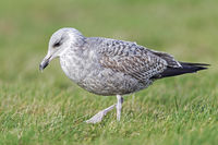 European Herring Gull in first winter plumage trips with the feet on the ground