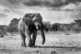 African Elephant in Namibia, Africa safari wildlife
