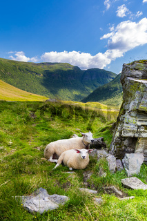 Norweging sheep in the shade