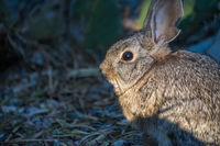 A brown Swamp Rabbit in Lake Havasu, Arizona