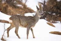 Roe deer walking on snowy glade in winter nature.