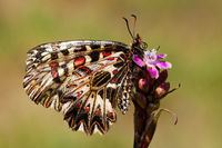 Southern festoon resting on flower on a meadow with yellow dry grass in summer