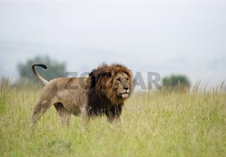 Male Lion on prowl, Maasai Mara National Reserve, Africa