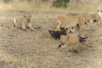 Lionesses with warthog Kill, Maasai Mara National Reserve, Kenya, Africa