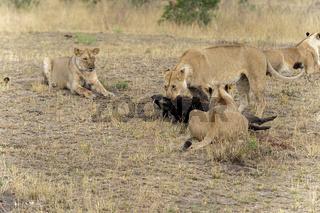Lionesses with warthog Kill, Maasai Mara National Reserve, Kenya, Africa