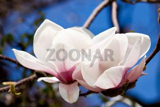 pink magnolia tree flower outdoor in spring