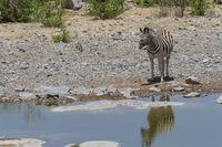 Steppenzebra an einem Wasserloch im Etosha Nationalpark