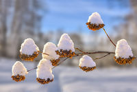 Golden dry flowers from seed vessels on bush twigs snow covered