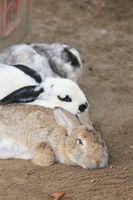 Domestic rabbits    (Oryctolagus cuniculus forma domestica)