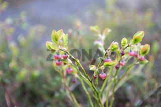 Cowberry bush with pale pink flowers closeup