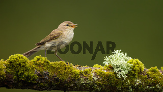 Icterine warbler perched on a green branch and singing with open beak
