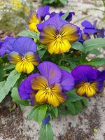 Horn-Veilchen, Viola cornuta