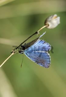 Hauhechel-Bläuling (Polyommatus icarus)