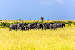 Large elephant herd  for a walk